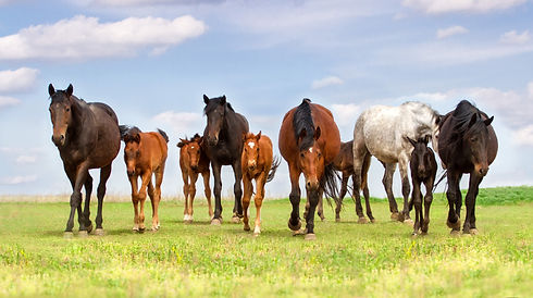 Horse herd with mare and foals walk on p