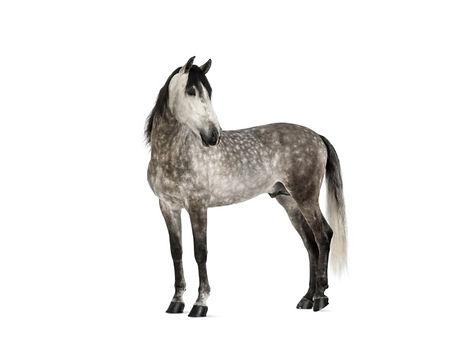 ANDALUSIAN HORSE 2.jpg