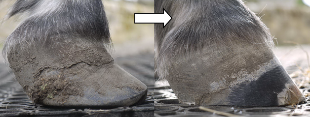 Beccy helps a young pony with EDO previously trreted by vet specialising in podiatry