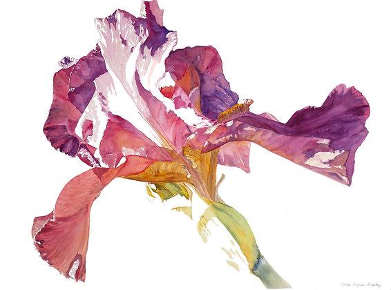 Hot Sun Iris framed