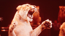 Ki Lionblade