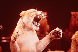 León de circo