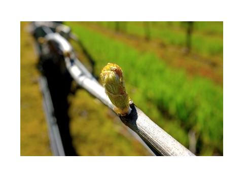 bud burst at Pimpernel Vineyards Yarra Valley