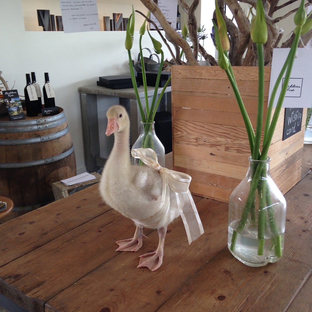 Clive the goose at Maddens Rise Winery Yarra Valley
