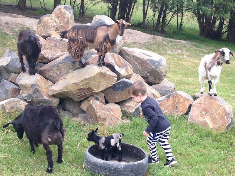 The goats love clambering on the rocks