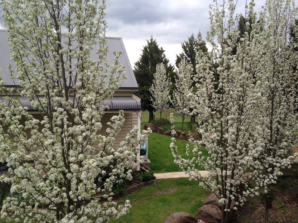 Manchurian Pear Trees in full blossom