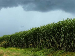Ministry Invites Investors to Complete RFI for 13 Sugar Projects