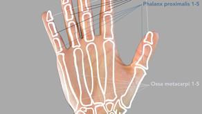 Anatomie der Hand (Knochen, Gelenke, Bänder & kurze Handmuskeln)