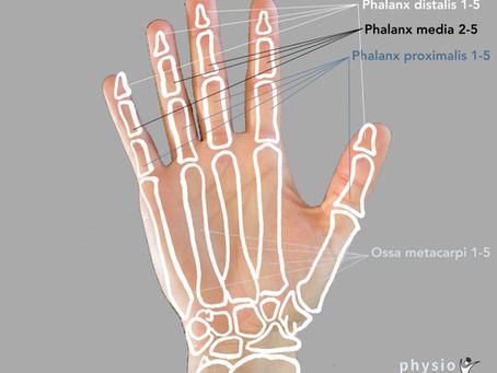 Anatomie der Hand (Knochen, Gelenke, Bänder)