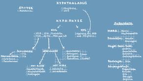 Das Hormonsystem (Grundlagen)