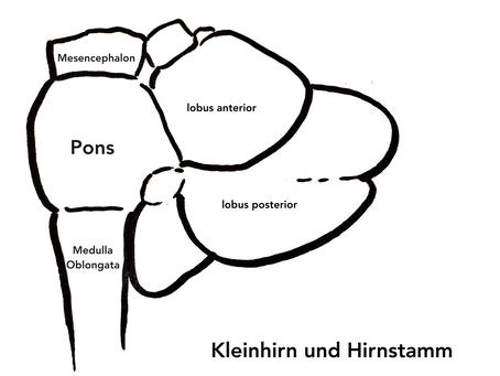 Kleinhirn (Cerebellum)