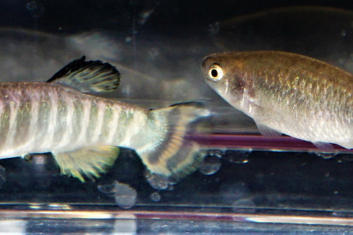 Class 14 - All Other Killifish