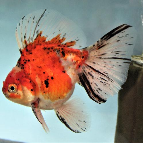 Class 29 - Goldfish w/o Head Growth