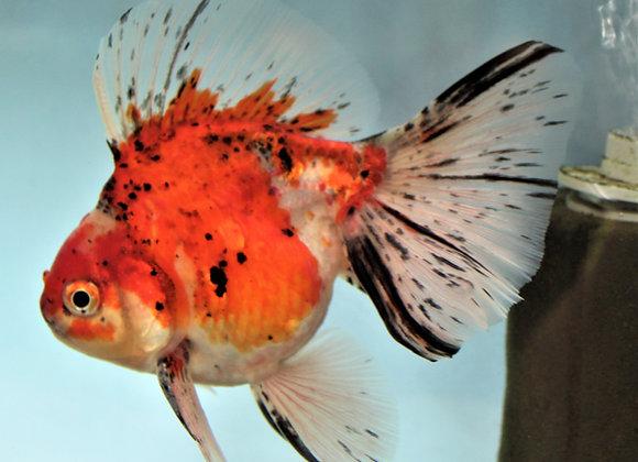 Class 41 - Dorsal Type Goldfish (Ryukin, Oranda, Pearlscale, etc.)