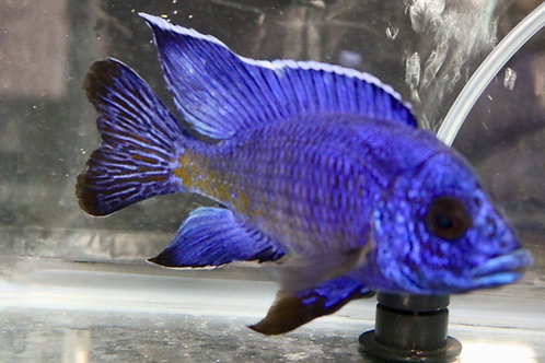 Class 7 -All Peacock Cichlids