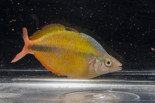 Class 22 - Rainbowfish