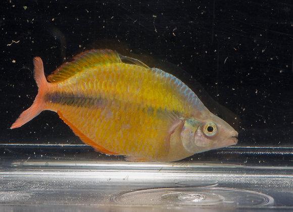 Class 34 - Rainbowfish