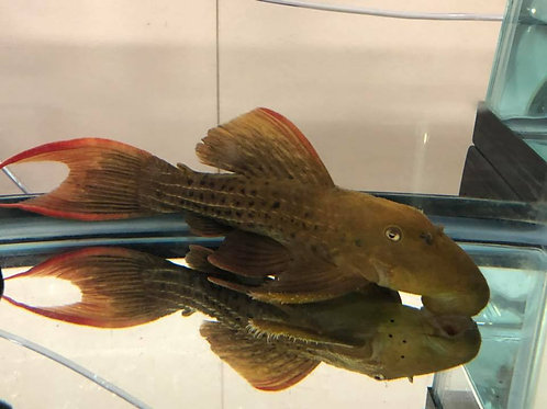 Class 19 - Suckermouth Catfish