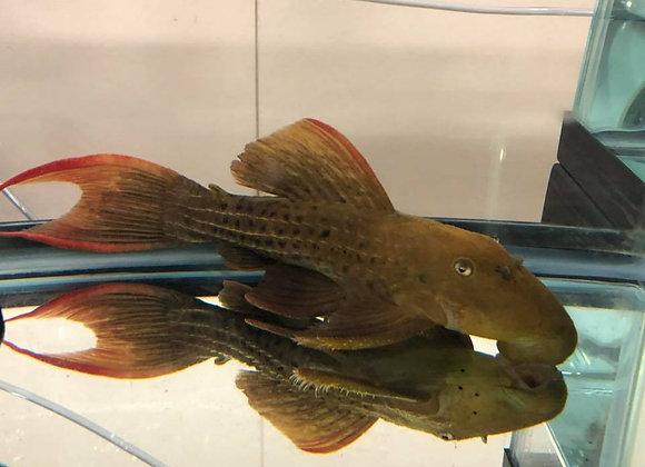 Class 31 - Suckermouth Catfish