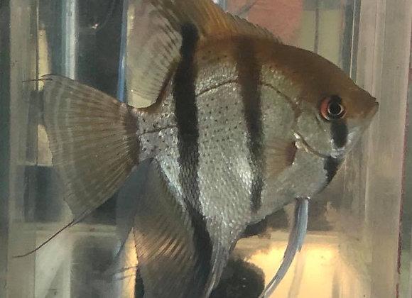 Class 1- Angelfish