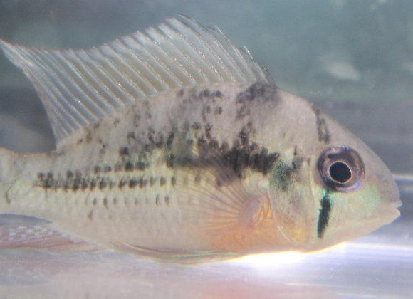 Class 4 - South American Cichlids (6 inches and under)
