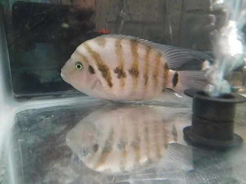 Class 4 - Central American Cichlids