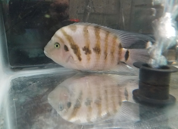 Class 6 - Central American Cichlids (6 inches and under)
