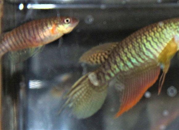 Class 17 -New World Annual Killifish