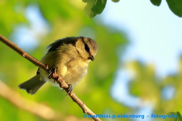 blaumeise-jungvogel-IMG_0015.JPG