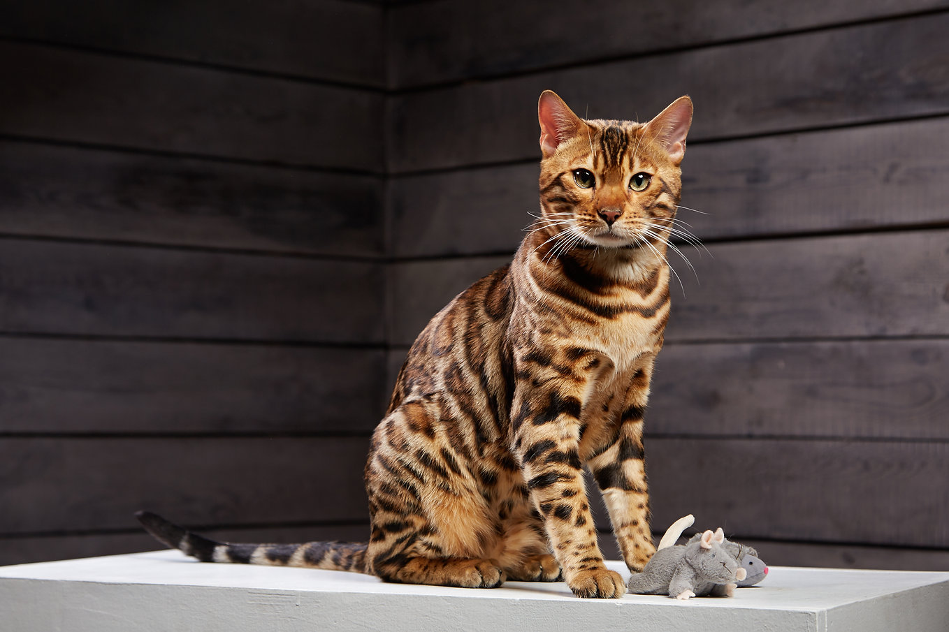 beautiful cat of Bengali breed. Young do