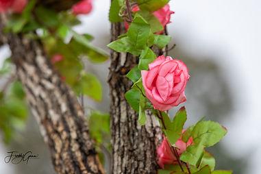 Rose 1 (1 of 1).jpg