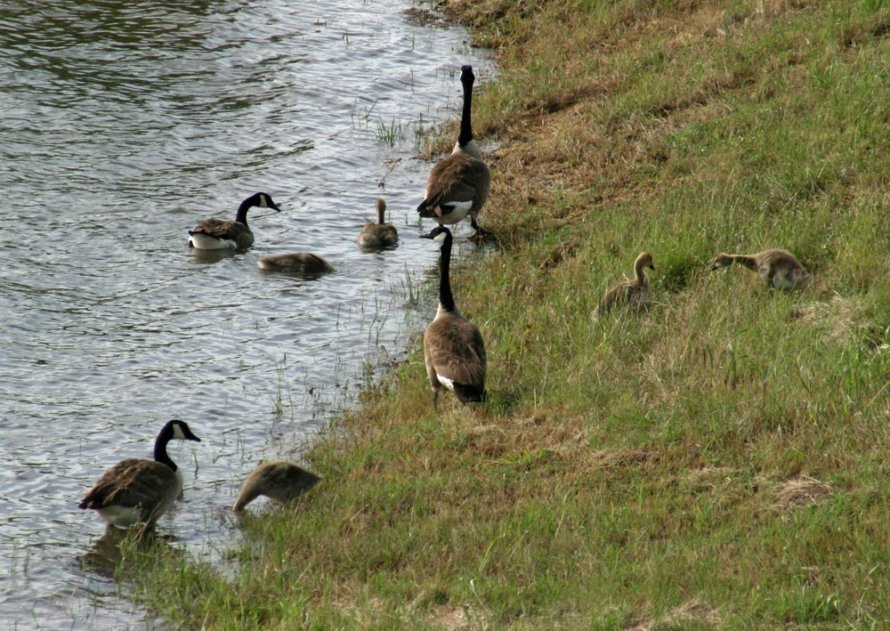 Kids & wildlife, such as these geese, are equally attracted by a nice lake or pond.