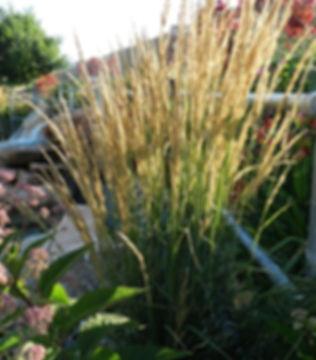 Karl-Foerster-fountain-grass-2-e14922122