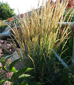Karl-Foerster-fountain-grass-2-e14922122