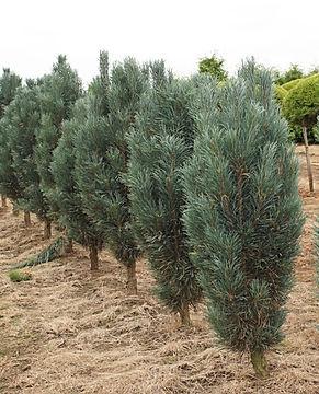 Pinus_sylvestris_Fastigiata_(8).jpg