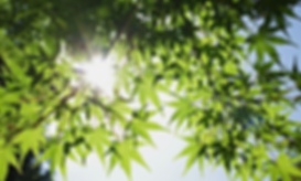 Blog_3-Fresh-green-leaves-of-the-maple-t
