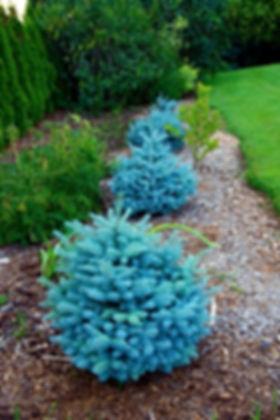 Montgomery-Blue-Spruce.jpg
