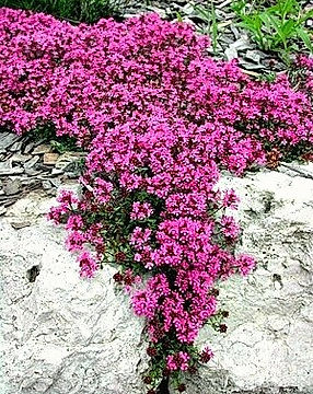 Creeping-Thyme-pink-lavender-quot-thymus