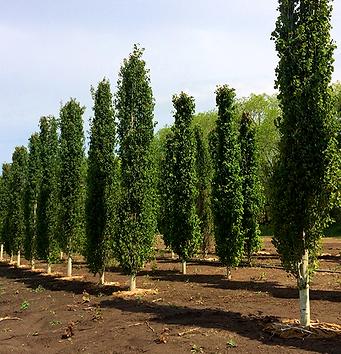 swedish-columnar-aspen-tree-5a830b270520