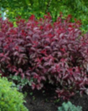 purple-leaf-sand-cherry-1.jpg