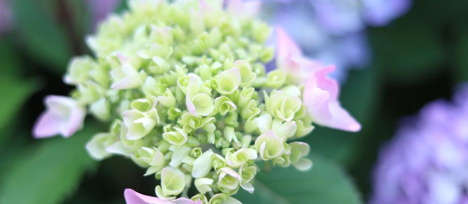 紫陽花の咲く季節・・・