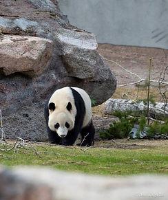 ahtarizoo-panda-pyry-timo-ahopelto%20(1)