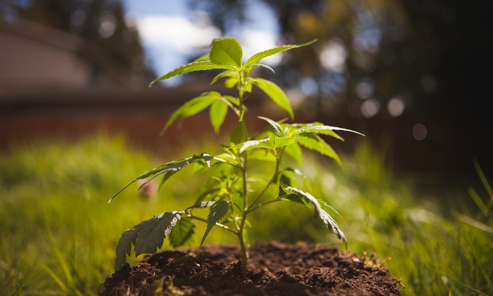 medical marijuana plants grown from seed