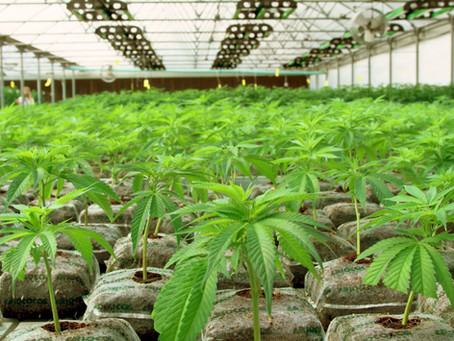 Wrigley's Billionaire Invests In Florida Medical Marijuana