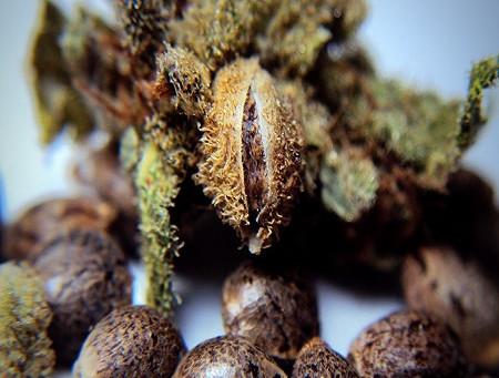 Can I Buy Medical Marijuana Seeds in Florida?