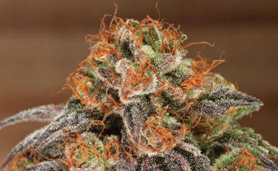 Liberty Health Sciences Star Killer Flower