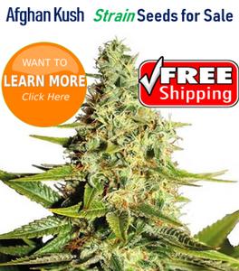 Afghan Kush strain seeds