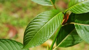 Kratom dosage - kratom plants