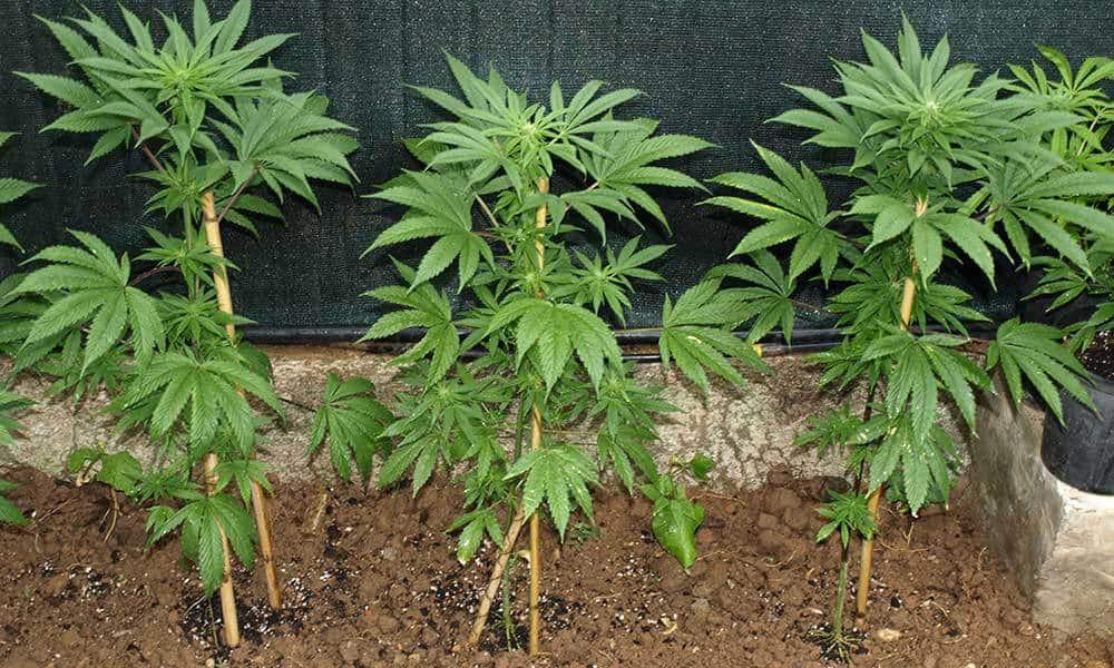 Joe Redner - Florida Patients growing marijuna plants