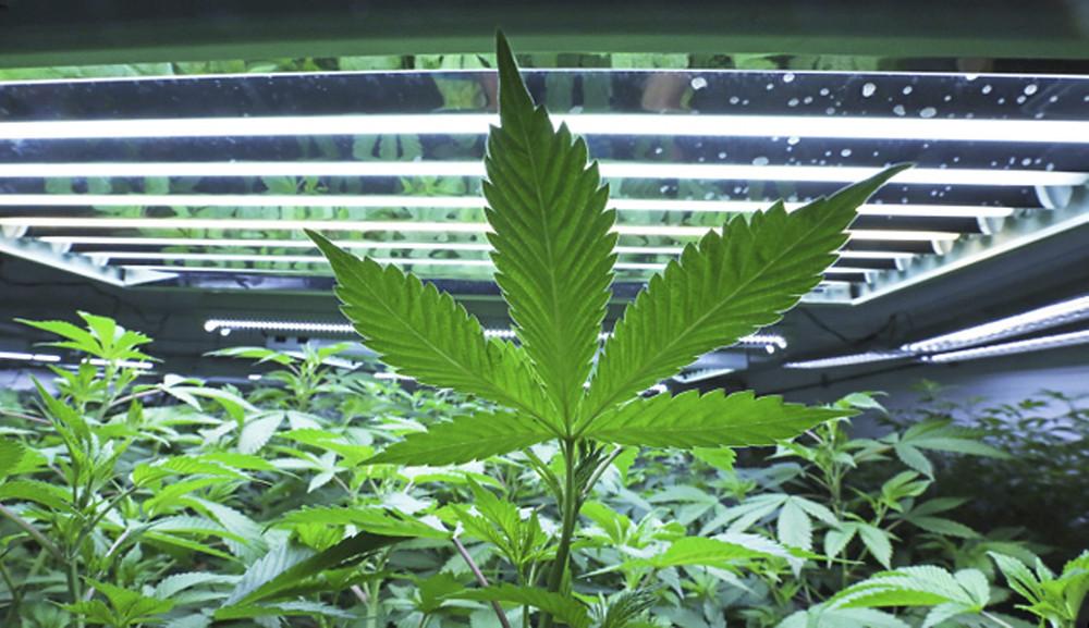Florida Marijuana Growers